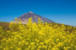 Flores del Teide en Tenerife. Invertir en Canarias