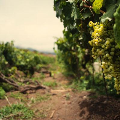 vinos Tenerife